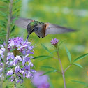 Broad-tailed Hummingbird - probably female