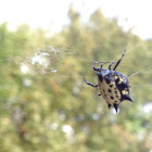 Spiny-backed Orbweaver Spider