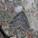 White-lined Graylet