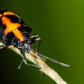 Beetle by Jimmy Fang - Animals Insects & Spiders ( animals, nature, bugs, insects, beetle,  )