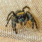 Bold jumping spider