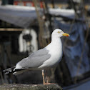 European Herring Gull / Silbermöwe