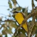 Benteveo mediano (Vermilion-crowned flycatcher)