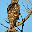 Cooper's Hawk (juvenile)