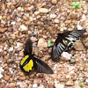 SAHYADRI BIRDWING