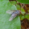 Sarcophagid Fly