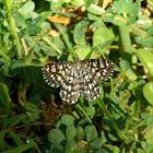 Latticed Heath moth