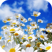 Chamomile Live Wallpaper