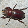 Reddish brown stag beetle (female)