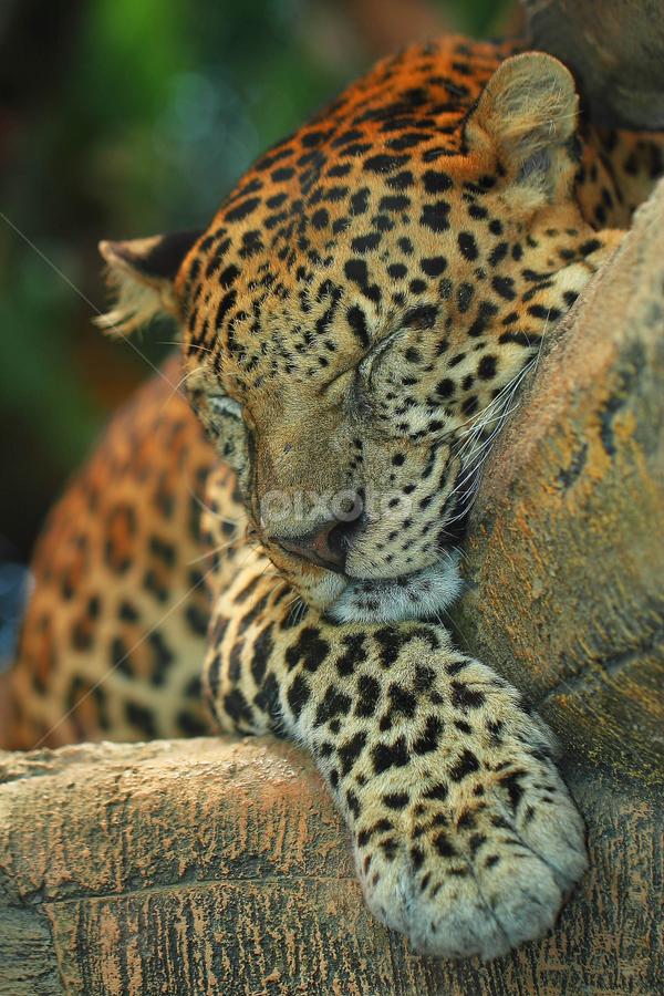 Sleepy Leopard by Sahid Djatmika - Animals Lions, Tigers & Big Cats ( animal, sleeping, sleep, rest, resting )