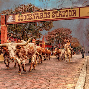 Fort Worth Stockyards by Sharyl Goodpaster - Animals Horses