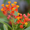 काकाटुन्डी, Scarlet Milkweed, Bloodflower, Silkweed, Indian root