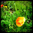 Iceland Poppy cultivar