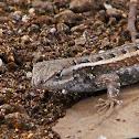Texas Rose-bellied Lizard