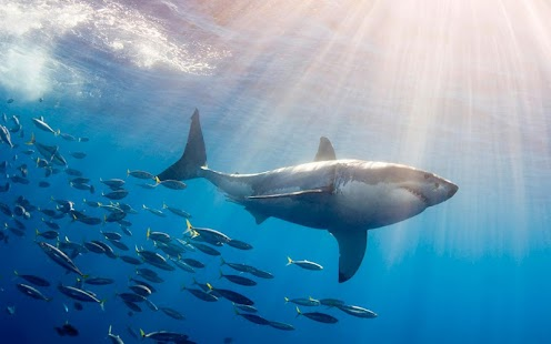 Great White SHARKS - screenshot thumbnail
