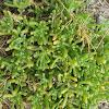 slenderleaf ice plant
