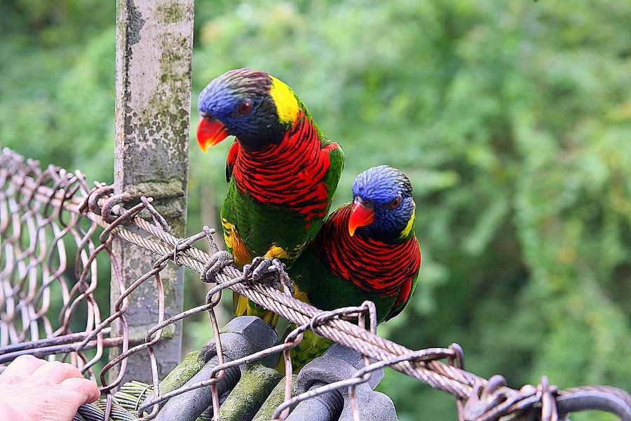 Lories at Jurong Bird Park by Leong Jeam Wong - Animals Birds ( aviary, lories, colourful, loft, birds, lory )