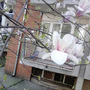 White magnolia - Bela magnolija