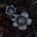 Rounded Earthstar