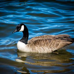 Floatin' by Derrick Leiting - Animals Birds ( water, bird, blue, d5200, outdoor, colorado, canadian, geese, nikon, spring, 55-200 )