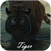 Tiger Video Live Wallpaper