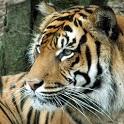 Tiger Puzzles icon