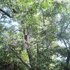 árbol del páraiso (bead-tree)
