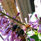 Eastern Carpenter Bee