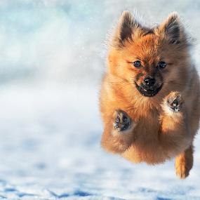 Winter Storm Cairn Gorm Scottish Highlands by Michael  M Sweeney - Animals - Dogs Running ( scotland, natural light, uk, speed, fast dog, scottish, michael sweeney, epic, d3, snow, pro, action, puppy, nikon, dog, pomeranian, animal )
