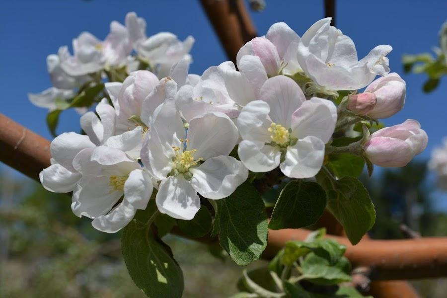 Apples in the making by Normand Bienvenue - Flowers Tree Blossoms