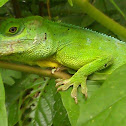 Puerto Rican giant anole, Cuvier's Anole, Green Giant Anole