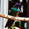 Magnificent hummingbird (males)