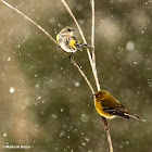 Yellow-rumped warbler with pine warbler