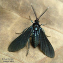 Altilis Wasp Moth