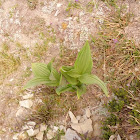 Green False Hellebore