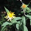 Rough-leaf Sunflower