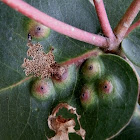 eucalyptus leaf gall - scale induced