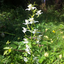 Greater butterfly-orchid, Bergnachtorchis