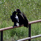 Raven and Turkey Vulture