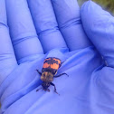 Gold-necked carrion beetle