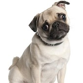 Mops Dog Wallpapers