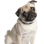Pug Dog Wallpapers