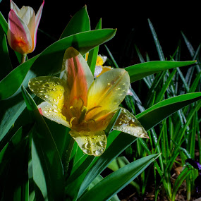 Loving the dark by Scott Morgan - Flowers Single Flower ( water, dark, drops, rain, flower,  )