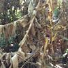 Aranha-néfila