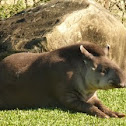 Anta (Tapir)