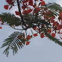 Gulmohar , flame of the forest