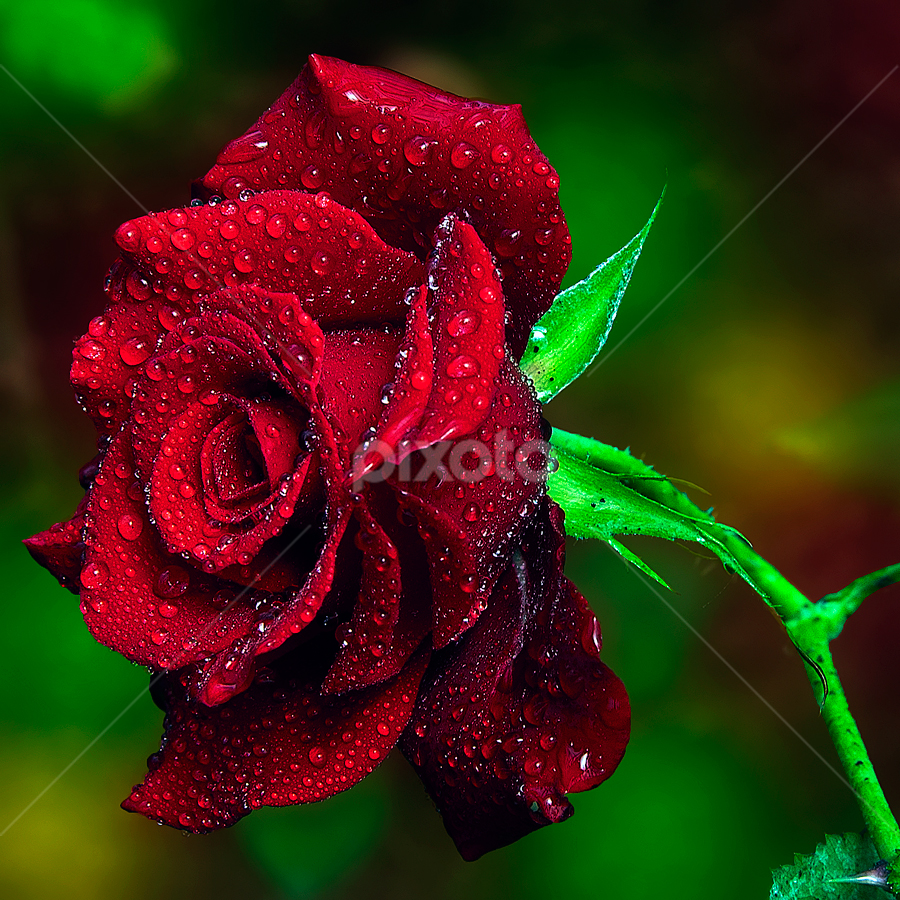 Red Rose by TEDDY ZUSMA - Flowers Single Flower ( water, ros, red, single, nature, color, colorful, flower )