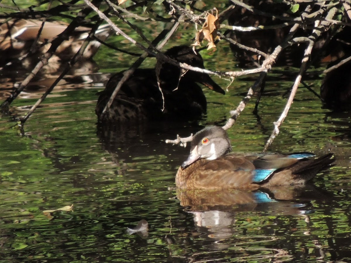 Wood duck (male in eclipse)