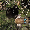 Wood duck (male in eclipse)