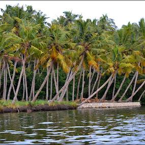 beauty in backwaters of kerala by Vijayendra Venkatesh - Landscapes Prairies, Meadows & Fields ( backwaters, varkala, coconut, trees, kerala )